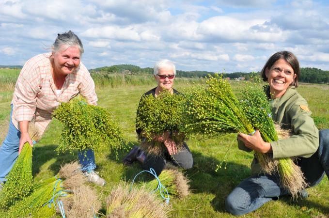 Tre kvinnor som skördar lin